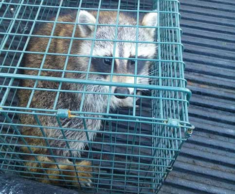 getting rid of raccoons